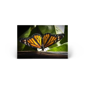 Animals & Wildlife: A New Monarch Butterfly